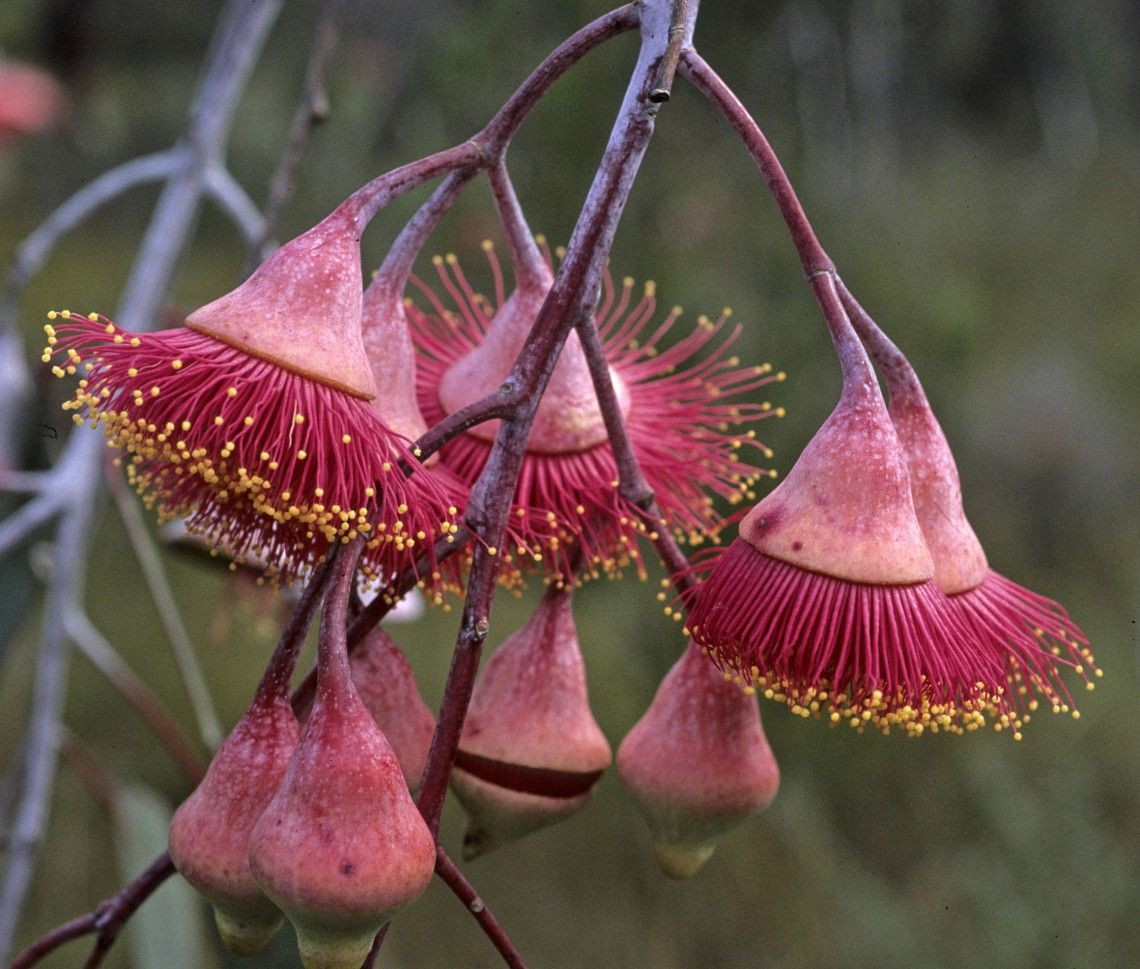 Australian Flowers, What Are They And Which Are Their Properties - Lifegate