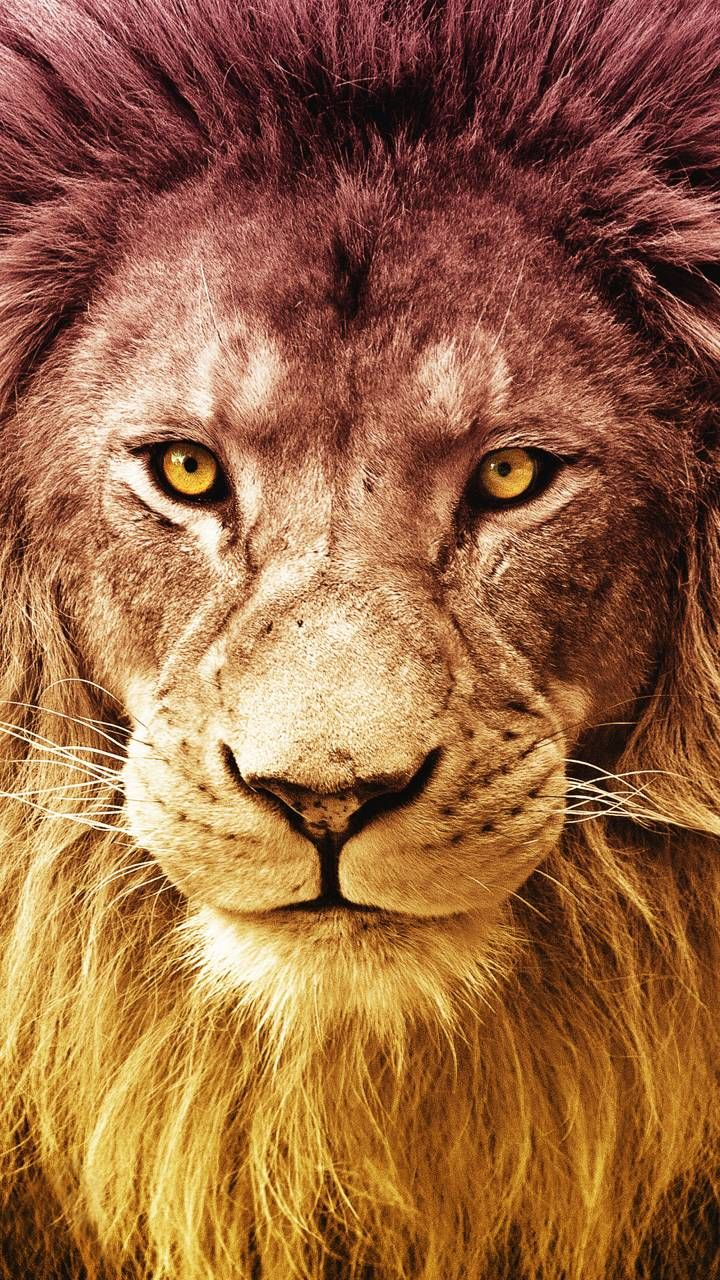 Lion Wallpaper for JIO Phone 1080p HD | Best JIO Phone Wallpapers