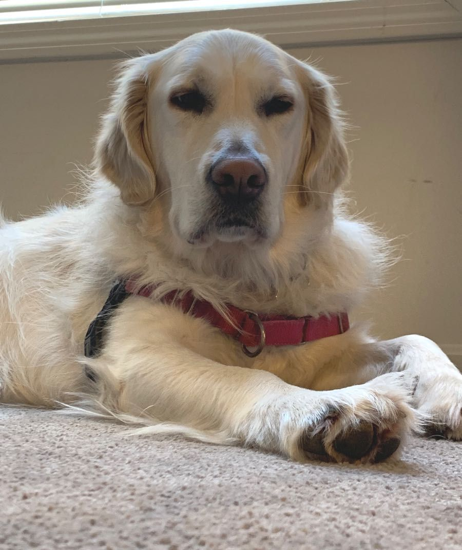 Rocky The Golden Retriever ~ Dogperday ~ Cute Puppy Pictures, Dog Photos, Cute Videos, Holistic Pet Care