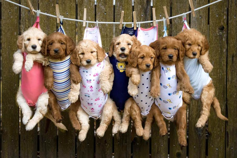 Rosie The Goldendoodle'S Puppy Litter ~ Dogperday ~ Cute Puppy Pictures, Dog Photos, Cute Videos, Holistic Pet Care