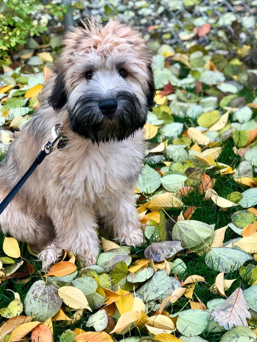 Winnie The Soft-Coated Wheaten Terrier ~ Dogperday ~ Cute Puppy Pictures, Dog Photos, Cute Videos, Holistic Pet Care