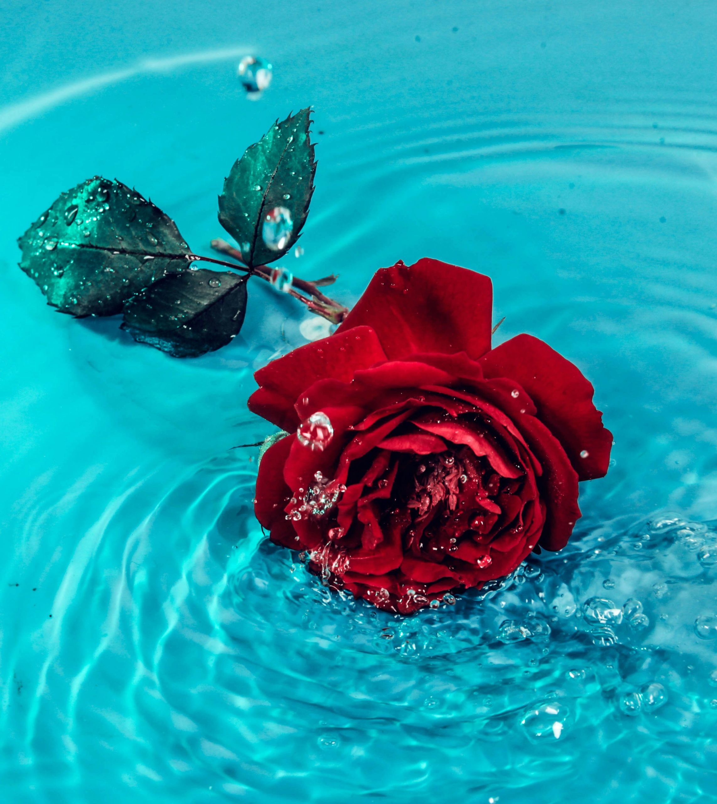 Rose Day 7Th February 2021/Rose Quotes/Rose Hd Image Download/Rose Gif Image/ Rose Days Wishes